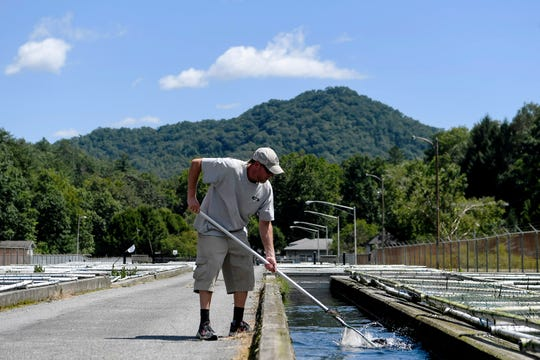 Greg Ditzler, Jr. scoops up trout to weigh at Setzer State Fish Hatchery in Pisgah National Forest August 29, 2019.