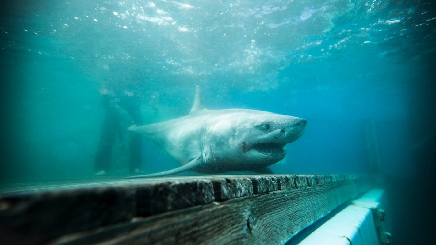 Nova Scotia great white sharks winter in Florida, head home in the fall