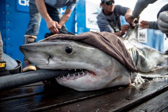 Brunswick the great white shark was tagged in February, 2019, off the coast of Hilton Head, South Carolina.