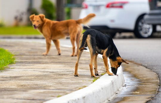 An uncollared dog plays with a lizard as another canine looks on within a housing development in Dededo on Wednesday, Sept. 11, 2019.