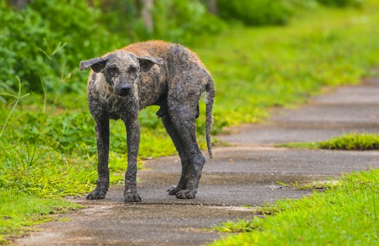 A sickly stray dogs is spotted on the sidewalk near the Hal's Angels football field in Dededo on Wednesday, Sept. 11, 2019.