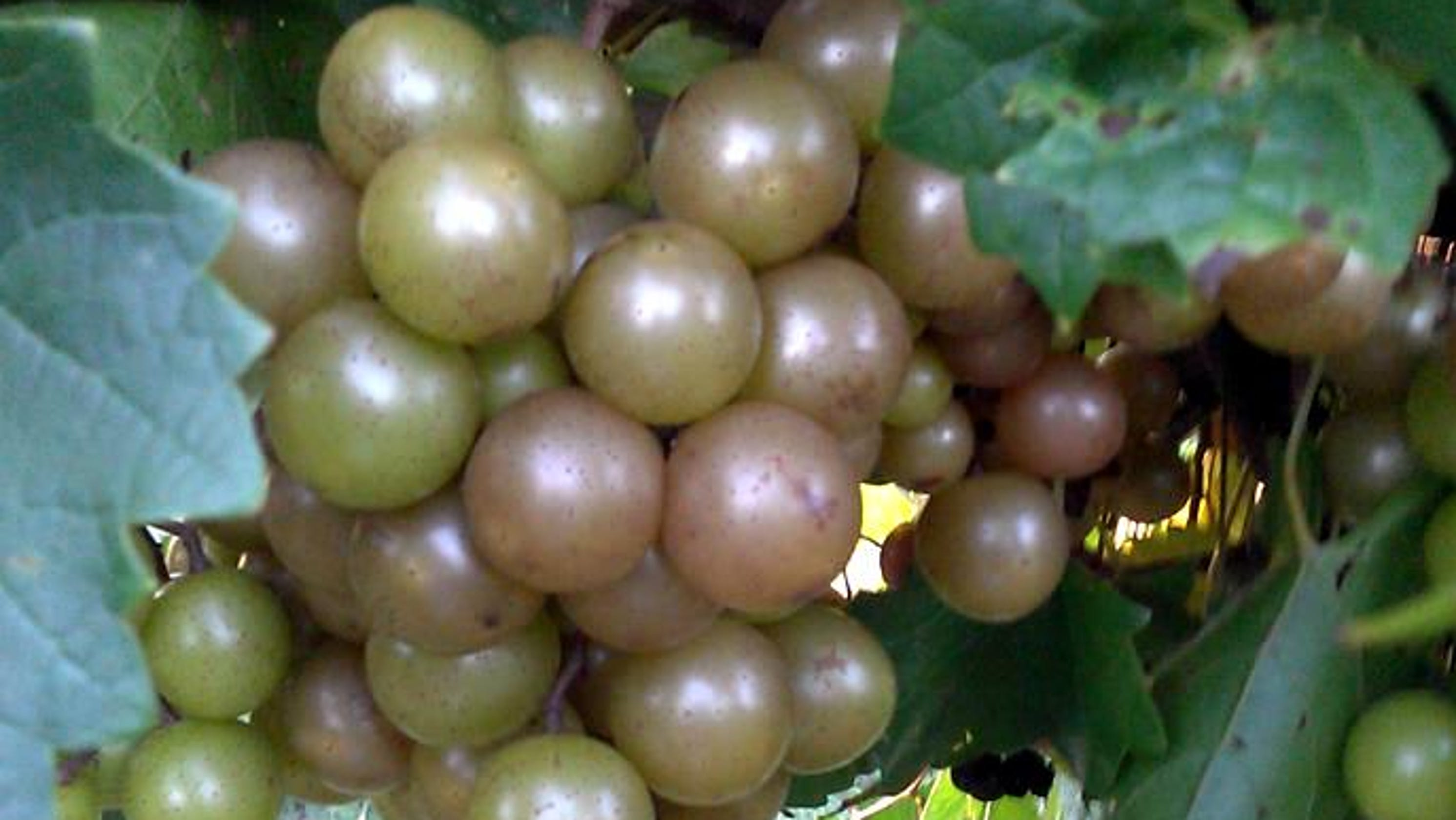 Muscadine eating protocol lacks propriety