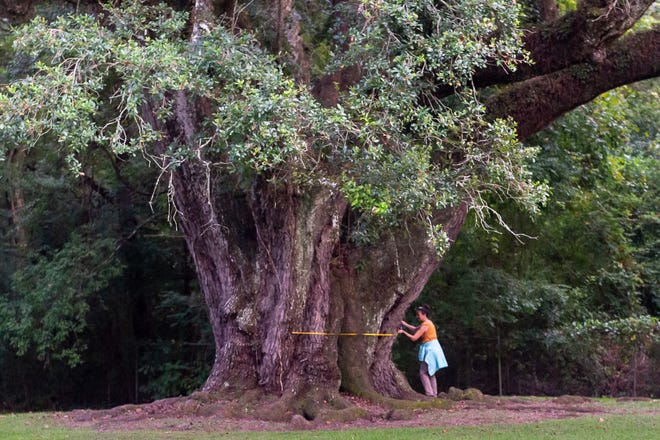 TreesAcadiana volunteer Theresa Rohloff measuring live oak trees at the Lambert's home in Lafayette, LA.  Tuesday, Sept. 10, 2019.