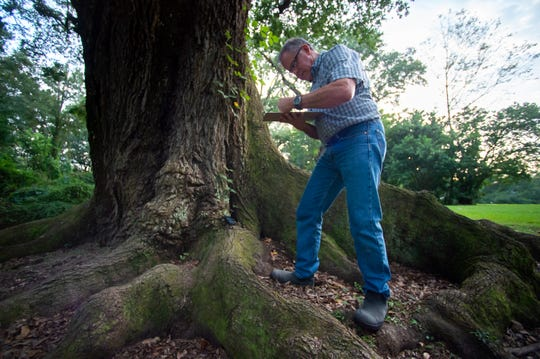 TreesAcadiana volunteer David Begneaud measuring live oak trees at the Lambert's home in Lafayette, LA.  Tuesday, Sept. 10, 2019.