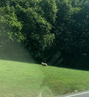 """Kendra Sparks spotted Phil Lakin's missing ewe in Percy Warner Park, days after she went missing from a sheepdog skills competition during the Middle Tennessee Highland Games on Sept. 9. The sheep, nicknamed """"Belle-Ewe,"""" was safely recaptured Thursday."""