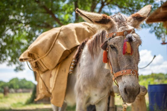 Freighter, a burro owned by Ron and Pat Rundstrom, is loaded with cargo.