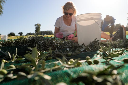 A volunteer collects olives at the Sunnylands olive harvest in Rancho Mirage, Calif. on Wednesday, September 11, 2019.