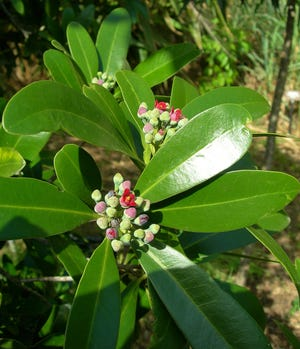 The wild cinnamon bark tree is evergreen and bears groups of small, red, fragrant flowers in the spring on through summer. The blooms are followed by attractive small, velvety red fruits which ripen during winter and early spring.