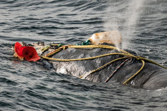 Fishing ropes wrap over the blowhole of a severely entangled North Atlantic right whale in the Gulf of Saint Lawrence, Canada.