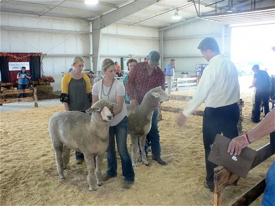 Sheep showing competition had competitors from coast to coast.