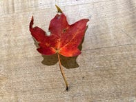 The sight of a red maple leaf brings back memories.