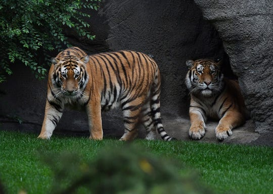 Amur tigers Nikolai and Aleksei, 2-year-old brothers that were born at the Columbus Zoo, look out from inside their new home, the 3.5-million Devereaux Tiger Forest at the Detroit Zoo in Royal Oak on Thursday.