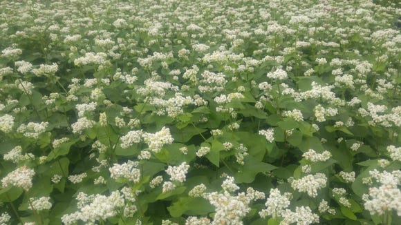 Buckwheat produces nectar only in the morning, so you won't see bees in your buckwheat during the afternoon.