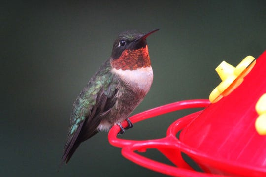 Male ruby-throated hummingbirds depart early for their winter homes in Costa Rica; so even as hummer migration peaks, spotting males at feeders becomes more and more rare.