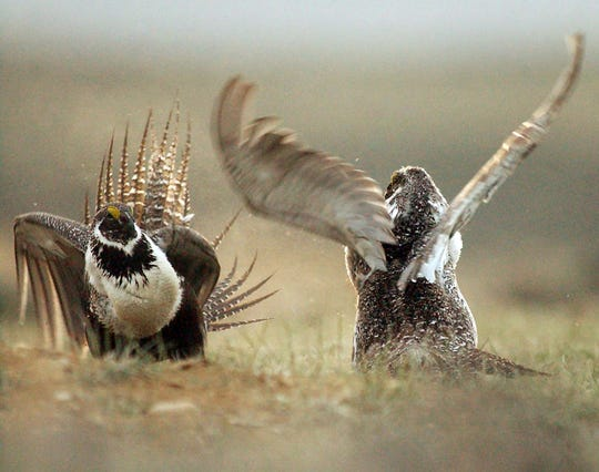 FILE - In this May 9, 2008 file photo, male sage grouses fight for the attention of females southwest of Rawlins, Wyo. Montana, Wyoming and other Western states are reporting population declines for the birds in 2019.AP Photo/Rawlins Daily Times, Jerret Raffety, File)/The Rawlins Daily Times via AP, File)