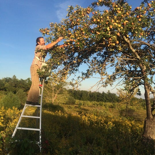 Steve Selin picks Dawes Leathercoat apples from a hedgerow for one of his South Hill Cider blends.