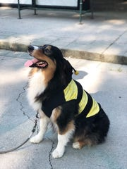 Australian Shepherd Baloo sports a bumblebee costume to promote the upcoming Strut Your Mutt contest on Sept. 28 at Fountain City Park. 2019