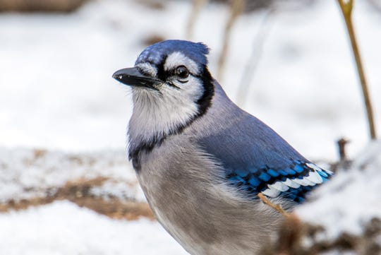 Large, colorful blue jays can be found year round in all parts of Wisconsin.
