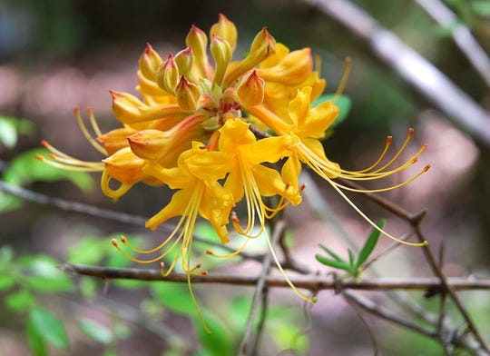 Florida Flame Azalea, Rhododendron austrinum on the Moody River Bluffs.