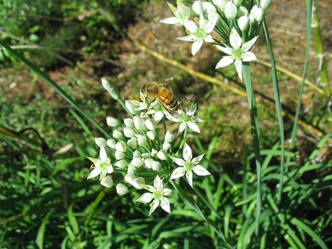 The summer flowers of garlic chives attract honeybees and other pollinators. Do you see the tiny pollinator near the honeybee?