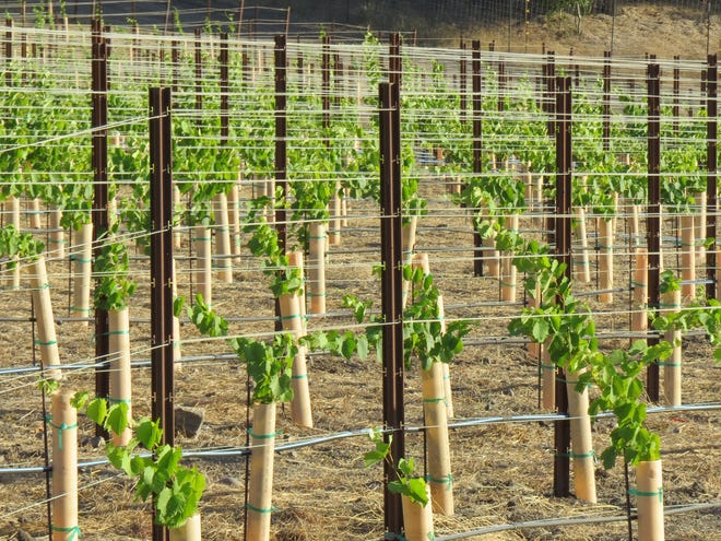 A 2019 photo shows newly planted vines at Old Creek Ranch Winery, off Highway 33 between Ventura and Casitas Springs.