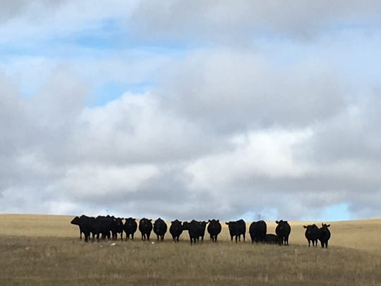 These heifers have plenty of grass, but for some strange reason, they crave dill pickles.
