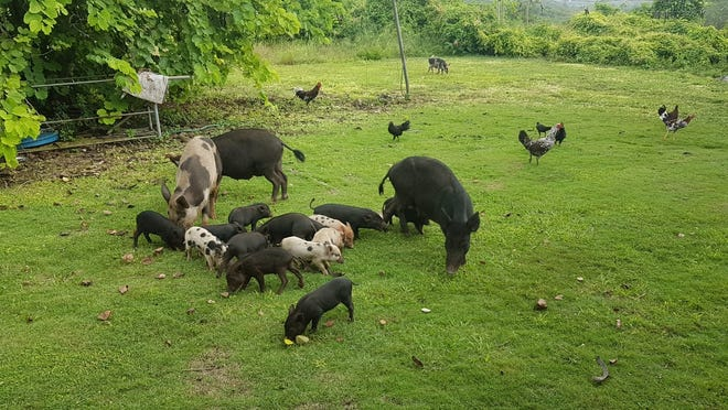 Feral pigs take their time in the backyard of Sinajana resident Pedro Toves. Sometimes, there'd be as many as 20 to 25 feral pigs that pose safety  concerns.
