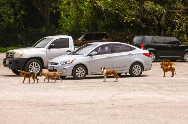A pack of stray dogs wander about cars in the parking lot of Tagachang Beach on Friday, Sept. 13, 2019.