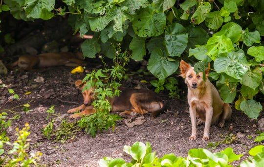 Female dog peers out as two other stray dogs lay in the shade under trees edging the Tagachang Beach park on Friday, Sept. 13, 2019.