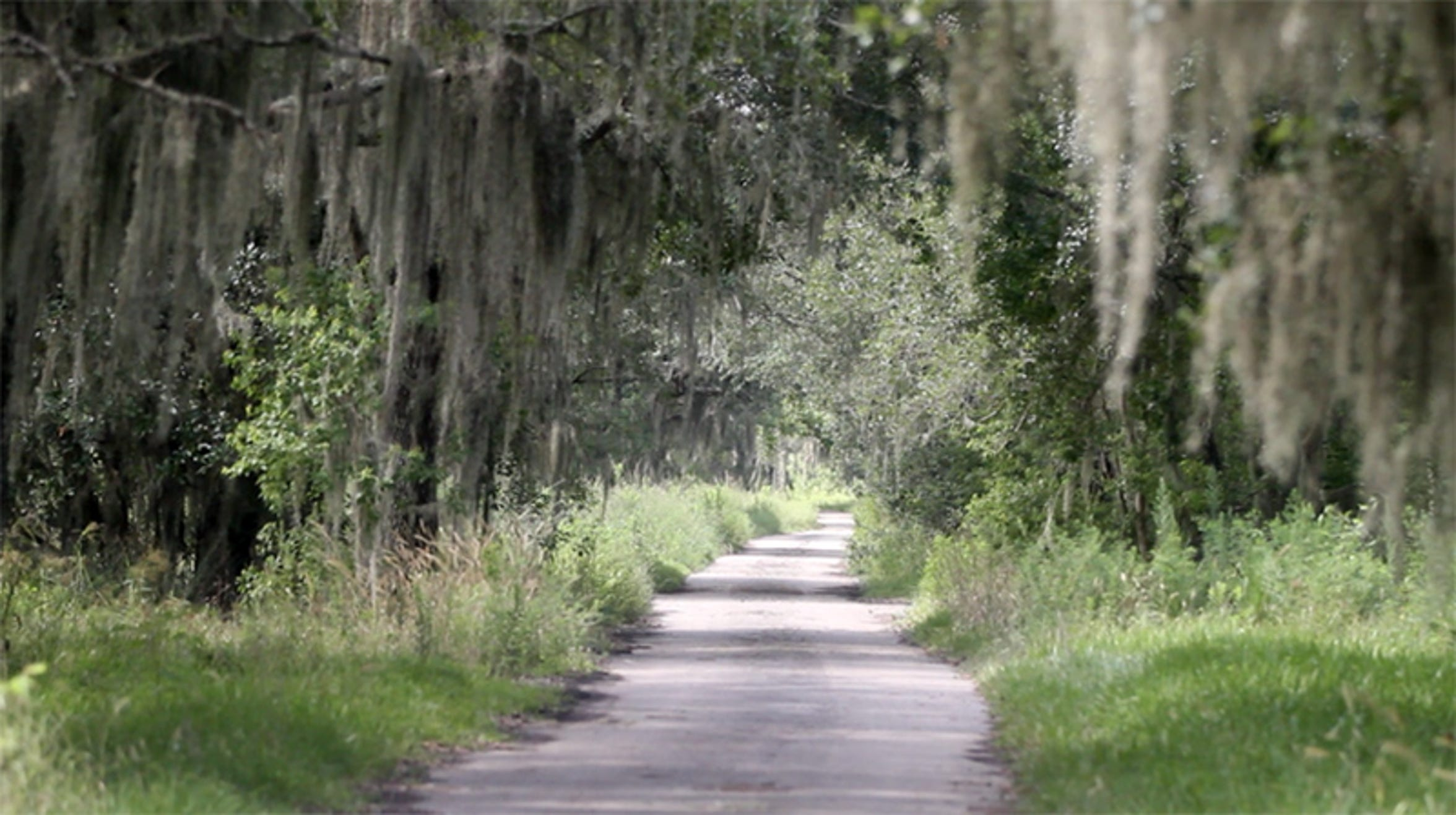 The road that leads to what's left of the Coca-Cola Mansion property is lined with overgrown grass and trees with cascading Spanish moss.