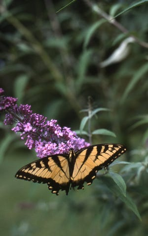The colorful tiger swallowtail is abundant in late summer. This colorful butterfly attracts many people as they watch the butterfly feeding on plant nectar.