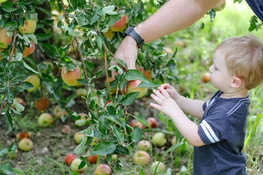 Nelson Girton picks apples at U-Pick Mesilla Valley Apple Orchard in Las Cruces on Friday, Sept. 13, 2019.