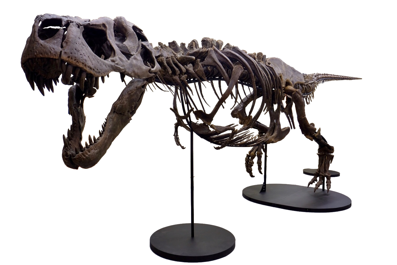 Victoria the T. rex is coming to Arizona Science Center in Phoenix: Photos