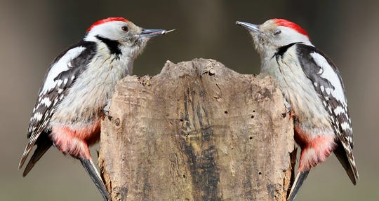 Woodpeckers sharing a tree? Uh, oh. It could be a harsh winter.