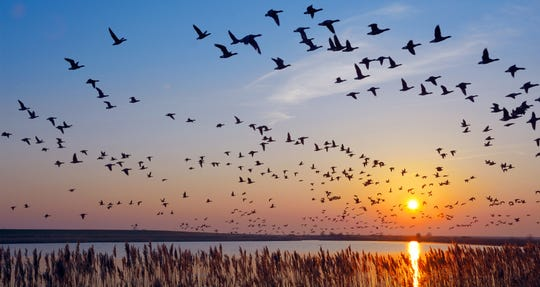 Geese and ducks migrating early is another sign of a harsh winter ahead, according to the Farmers' Almanac.