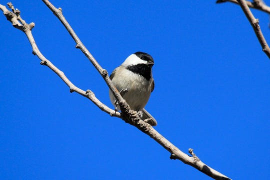 The Carolina chickadee only occurs inside the man-made borders of the United States.