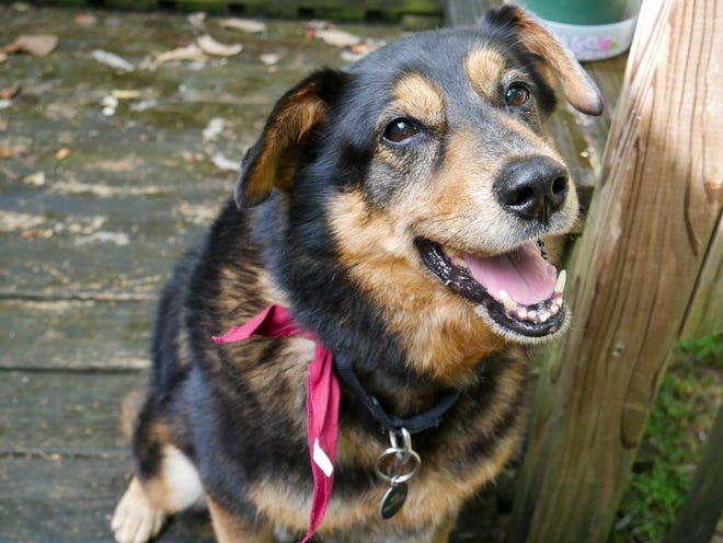 Bentley is an 8-year-old German shepherd mix.