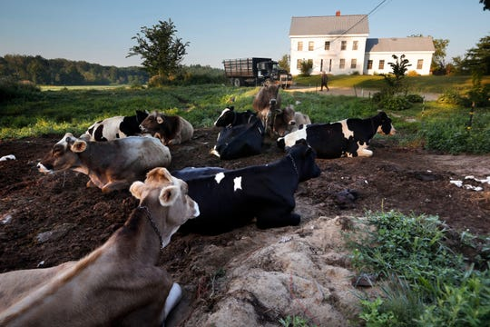 In this Thursday Aug. 15, 2019 photo, dairy cows rest outside the home of Fred and Laura Stone at Stoneridge Farm in Arundel, Maine. The farm has been forced to shut down after sludge spread on the land was linked to high levels of PFAS in the milk.