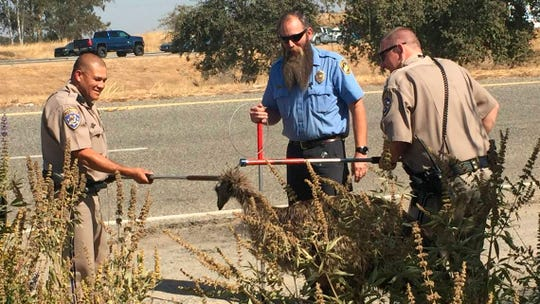 California Highway Patrol officers with an officer from Madera County Animal Services, middle, use dog snares to capture an emu that was found wandering along California Highway 99, north of Madera, Calif.