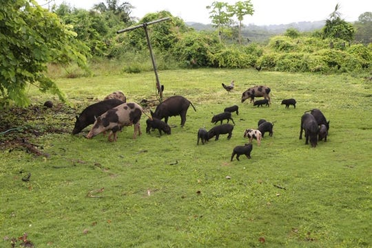 Some of the feral pigs in Sinajana resident Pedro Toves' backyard, photographed late afternoon on Sept. 12, 2019 while Toves was trying to feed his chickens. Toves said the feral pigs started coming out to his property about a month ago and there'd be up to 25 of them sometimes. It's becoming a safety and nuisance concern, he said.