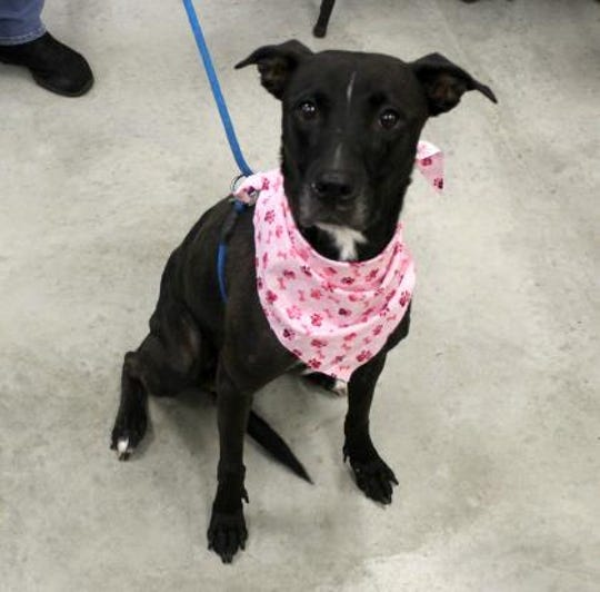 Jazmine is a spayed female, 4-year-old, Labrador/Boxer mix.
