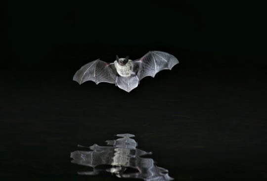 2 dead bats from Grand Canyon National Park test positive for rabies