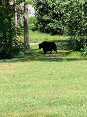 This photo provided by Laura Cooper from the Nelson County Farm Bureau shows a yak in Lovingston, Va,, on Wednesday, Sept. 11, 2019.  Authorities say the yak on its way to the butcher's shop escaped to the nearby mountains avoiding animal control officers and treats trying to lure it back into a trailer. The yak named Meteor was on its last ride Tuesday from Buckingham, Virginia, to the butcher when it got out of its trailer. (Laura Cooper/Nelson County Farm Bureau via AP)