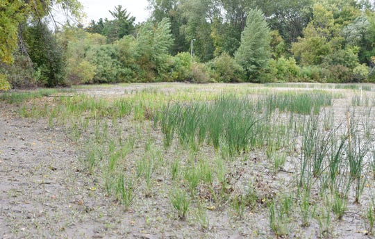 New plants continue to grow along the shoreline on Little Rock Lake Friday, Sept. 13, 2019, at Benton Beach Campground.