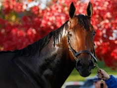 American Pharoah receives a bath after morning Breeders Cup work outs at Keeneland.