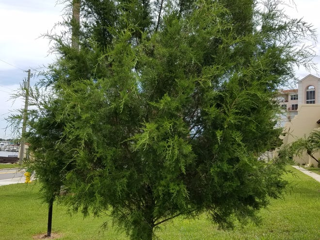 Southern redcedar is a great tree for Central Florida landscapes.