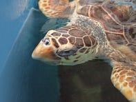 Research shows climate change could bring short-term gain, long-term pain for turtle species