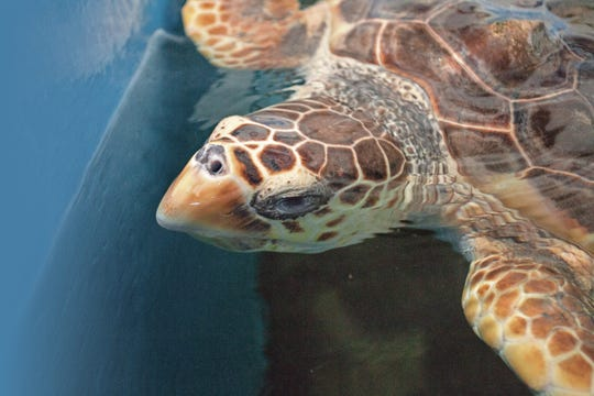 A loggerhead turtle swims in a tank at the Gulf Specimen Marine Lab in Panacea, Fla., on Wednesday, January 28, 2015.