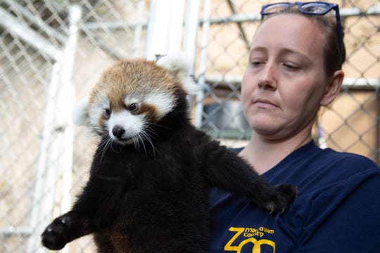 Kiki, a female red panda cub, holds onto  Katie Kuhn, Big Cat Country supervisor at the Milwaukee County Zoo, after getting her vaccination Sept. 5.