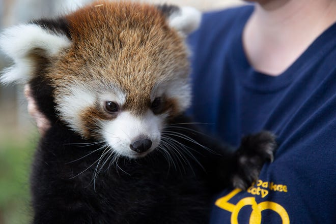 Kiki, a female red panda cub, who was about to get her vaccination Sept. 5, is held by Katie Kuhn, the Big Cat Country supervisor at Milwaukee County Zoo.
